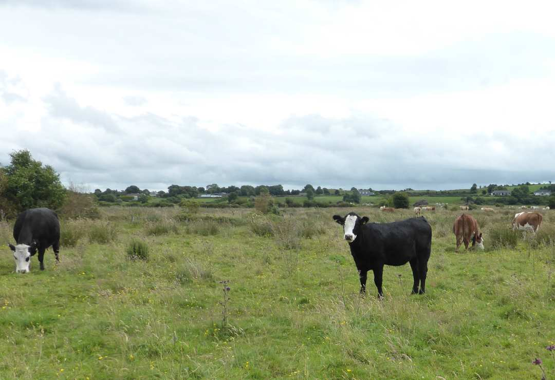 irish cattle Gallery