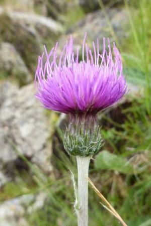 irish plants