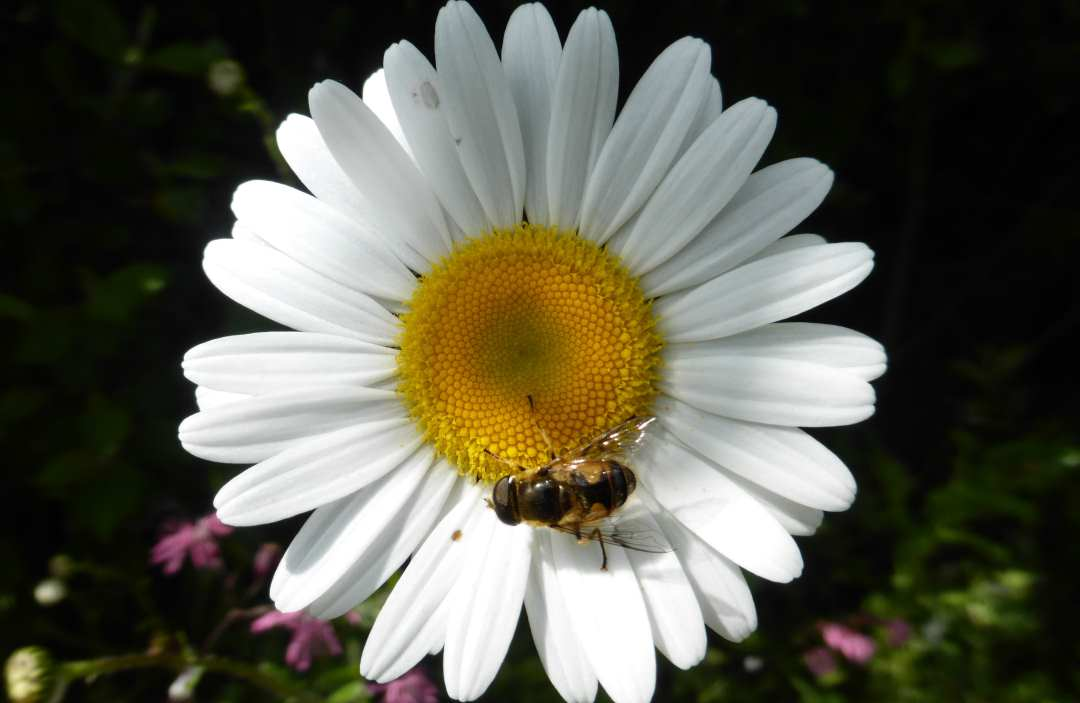 flower with bee on it. irish insects